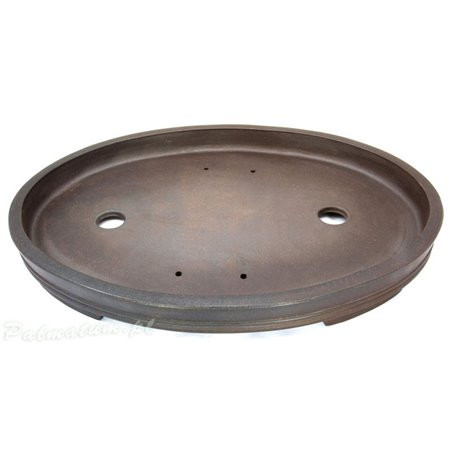 Eastern white pine seedling