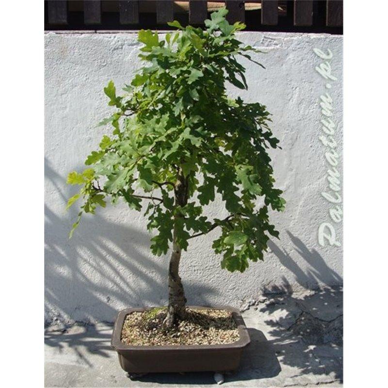 Eastern white pine seedling cones