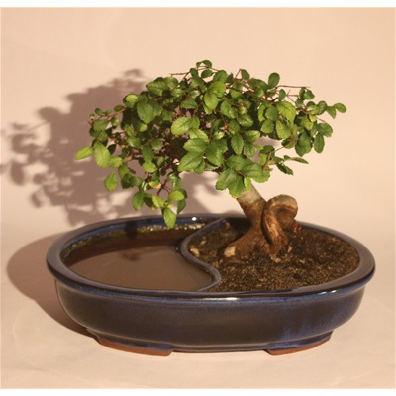 Swedish whitebeam prebonsai