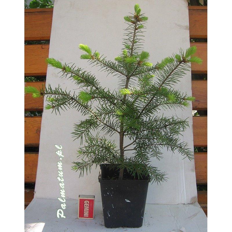 klon shirasawy liść