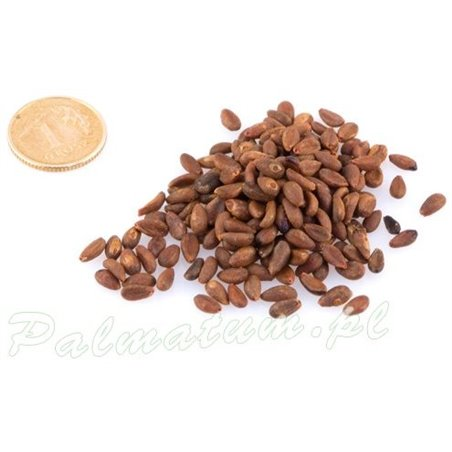 ginkgo biloba leaves size