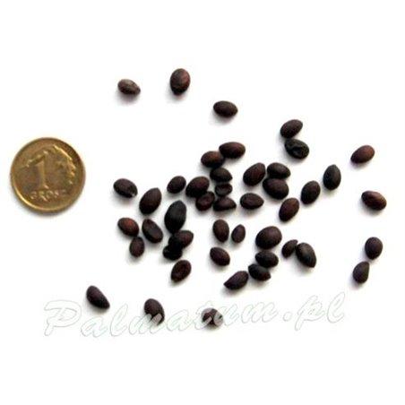 Fraxinus excelsior seeds