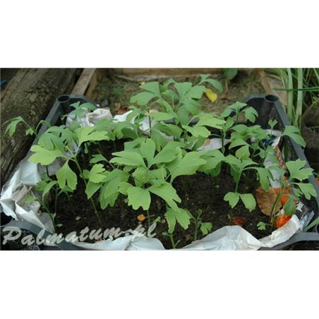 Buk pospolity, zwyczajny - liście