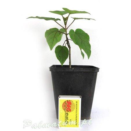 Japanese maple Rubrum - leaves