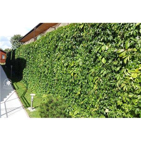 japanese maple prebonsai - May 2021